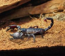 Emporer Scorpion, the largest one in our crew
