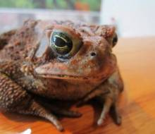 Gracie, the American Brown Toad, Photo by Emily Haas