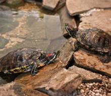 Mac and Gluttony both Red Eared Sliders - playing King of the Hill......