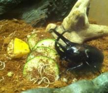 Malaysian Rhinocerus Beetle (Subfamily Dynastinae)