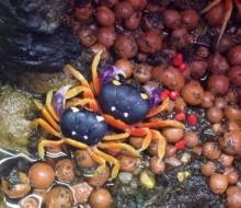 Moon Crabs (Gecarcinus quadratus), photo by Emily Haas