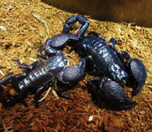Black Emperor Scorpions, Photo by Emily Haas