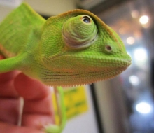 Guacamole, the Senegal Chameleon, Photo by Emily Haas