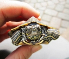 Mortimer, the Mississippi Map Turtle, photo by Emily Haas