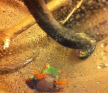 Salsa, the Red Eyed Tree Frog (Agalychnis callidryas)