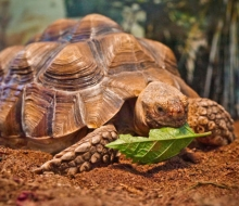 Willow, the African Spurred Tortoise (Gelochelone sulcata)