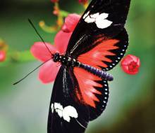 A Red Doris (Heliconius Doris)