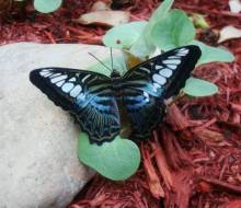 Blue Clipper from Malaysia