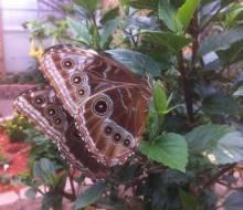 Blue Morpho, Underside of wing, Photo courtesy of Lisa Janisse