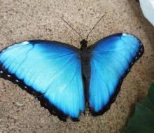 Blue Morpho (Morpho peleides) from Costa Rica