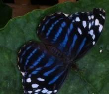 Blue Wave (Myscelia cyaniris)