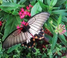 Great Mormon (Papilio memnon), Emily Haas