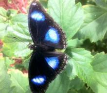 Greater Eggfly (Hypolimnus bolina)