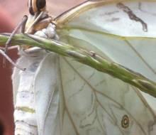 White Morpho (Morpho polyphemus) Photo courtesy of Lisa Janisse