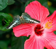 Blue Clipper (Parthenos Sylvia) On A Hibiscus Fower