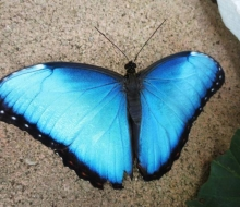 Blue Morpho (Morpho peleides) from Costa Rica