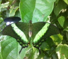 Green Banded Swallowtial (Papilio bromius)