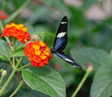 Sara Longwing (Heliconius sara) Enjoying nectar from a Lantana Bloom